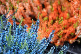 Background picture of orange and blue flowers — Stock Photo