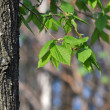 Aspen tree branch with spring buds and young leaves - Stock Photo