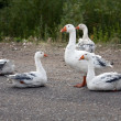 A flock of white geese on natural background - Stock Photo