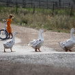 Geese are walking in the village - Stock Photo