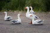 A flock of white geese on natural background — Stock Photo