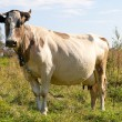 Brown cow in the field — Stock Photo
