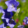 blue campanula — Stock Photo