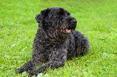Siyah köpek terrier çim — Stok fotoğraf