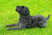 Black dog terrier on the grass — Stock Photo
