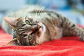 Cat Relax on red — Stock Photo