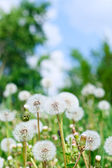 Dandelions and sky — Stock Photo