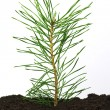 Pine twig in soil — Stock Photo