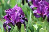 Purple iris flower — Stock Photo