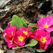 Spring flowers of primula — Stock Photo