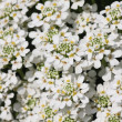 White little flowers — Stock Photo