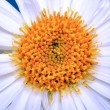 White aster flower closeup - Stock Photo