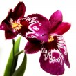 Miltonia orchid blossom — Stock Photo
