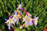 すみれ色の花 — ストック写真