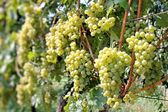 Bunches of grapes — Stock Photo