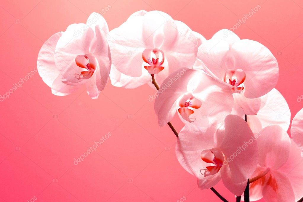 White And Pink Orchid Flowers Big Ligh Pink Phal Orchid Flowers Sprig at Pink Background Lighted Top Down