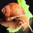 Garden snail eating salad leaf - Stock Photo