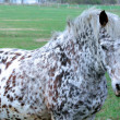 White spotted horse - Stock Photo