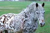 White spotted horse — Stock Photo