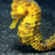 Stock Photo: Common Seahorse