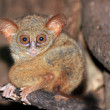 Stock Photo: Spectral Tarsier