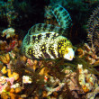 Stock Photo: Clouded Moray Eel