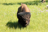 Bison on the Run — Stock Photo