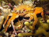 Decorator Crab — Stock Photo