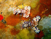 Harlequin shrimps — Stock Photo