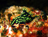 Nembrotha Kubaryana — Stock Photo