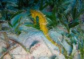 Thorny Seahorse — Stock Photo
