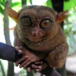 Stock Photo: Philippine Tarsier