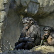 Stock Photo: Bonobos