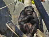 Bonobo — Stock Photo