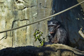 Bonobo eats — Stock Photo