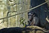 Bonobo yiyor — Stok fotoğraf