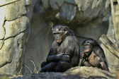 Bonobos — Stock Photo