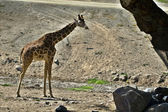 Giraffe standing — Stock Photo