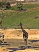 Zürafa gölgede — Stok fotoğraf