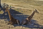 Giraffes resting — Stock Photo