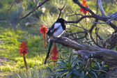 Black-billed magpies — Stock Photo