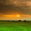 Stock Photo: Flight of birds at sunset