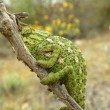 Camouflaged chameleon — Stock Photo