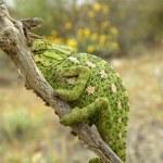 Camouflaged chameleon — Stock Photo