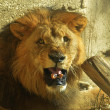 Stock Photo: Nearby face of lion at daylight.