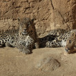Stock Photo: Leopards