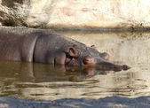 Hippopotamus on the water — Stock Photo