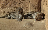 Leopards — Stock Photo