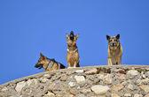 German shepherds — Stock Photo