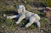 Celtiberic goat justborn kid — Stock Photo